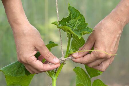 tied in: hands of gardener tied up cucumber in the vagatable garden Stock Photo