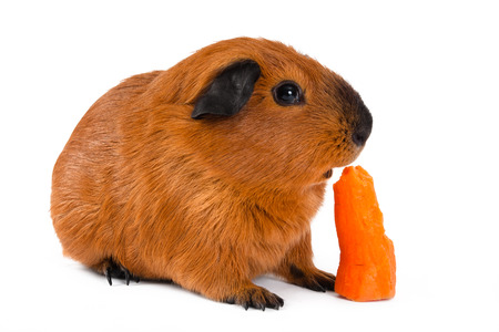 young guinea pig eating fresh carrot on white background