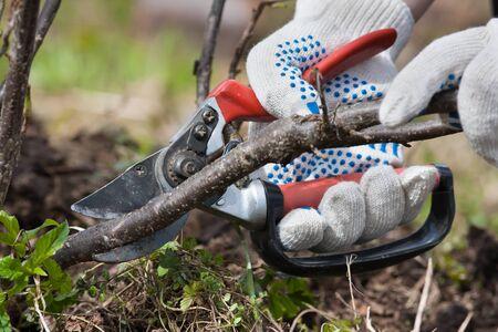 Hände in Handschuhen Rebschere schwarzen Johannisbeeren mit im Garten Beschneiden Standard-Bild