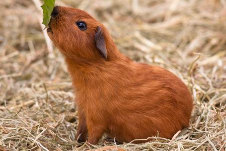 californian: young guinea pig feeding leaf of dandelion