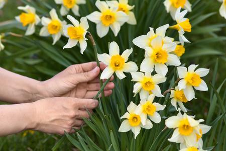 Close-up van handen plukken narcissen bloemen in de tuin Stockfoto