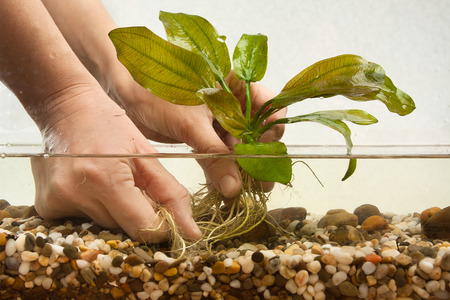 echinodorus: hands of aquarian planting water plant in aquarium