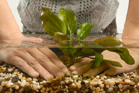 echinodorus: hands planting water plant echinodorus in new freshwater aquarium Stock Photo