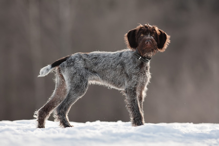 hunting dog on the walking in winter
