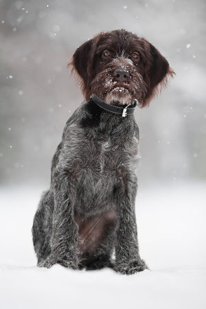 drathaar: young hunting dog on the walking in winter