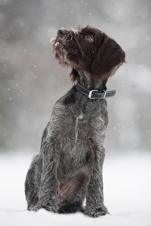 drathaar: puppy of hunting dog on the walking in winter Stock Photo