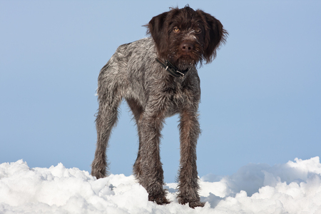 drathaar: young hunting dog in winter on blue sky background