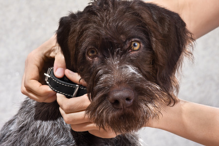 hands putting on collar on the dog Stock Photo