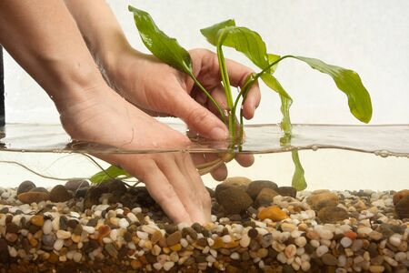 echinodorus: hands of aquarist planting water plant echinodorus in new freshwater aquarium