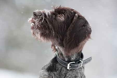 drathaar: portrait of hunting dog on winter blurred background