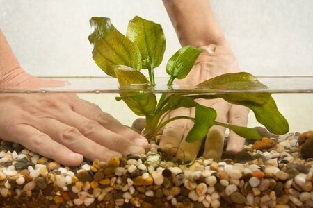 echinodorus: hands of aquarist planting water plant echinodorus in new aquarium