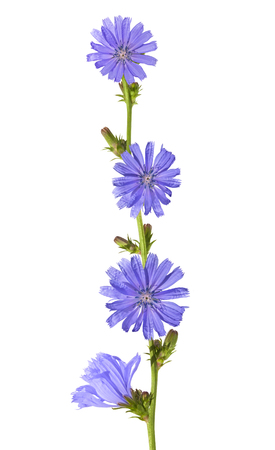 flowers of chicory (Cichorium intybus) isolated on white