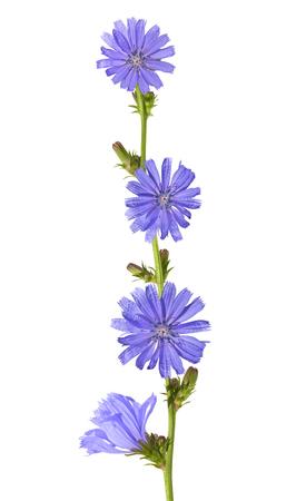 escarola: flowers of chicory (Cichorium intybus) isolated on white