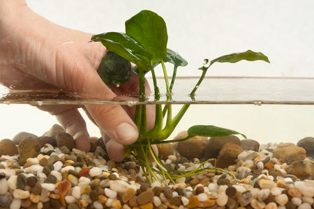 echinodorus: hands of aquarian planting aquatic plant in aquarium