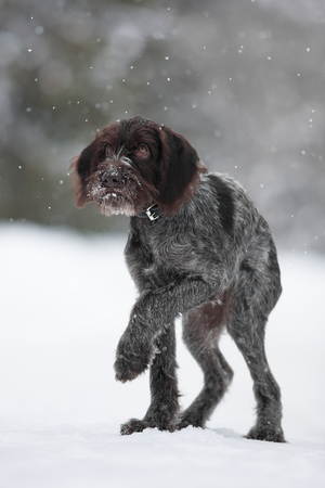 drathaar: frozen puppy of hunting dog on the walking in winter