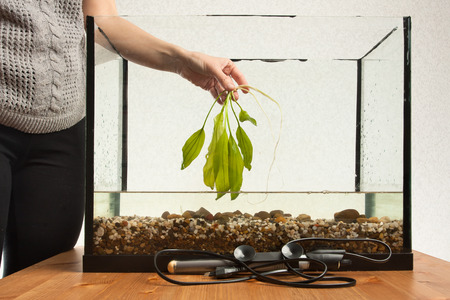 echinodorus: hand of woman holding water plant ready to planting in aquarium