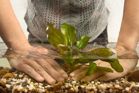 aquarian: hands of aquarian planting echinodorus in aquarium
