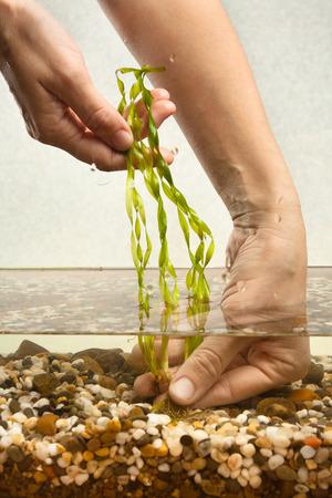 aquarist: hands of aquarist planting vallisneria in aquarium Stock Photo