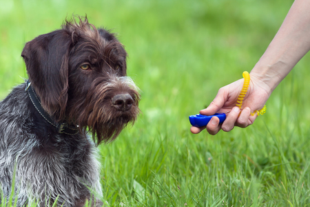 education: hand of woman training young dog with clicker on the green summer background