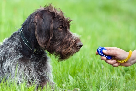 education: hunting dog and woman hand with clicker Stock Photo