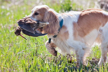 hunting dog spaniel carrying a woodcock to the owner