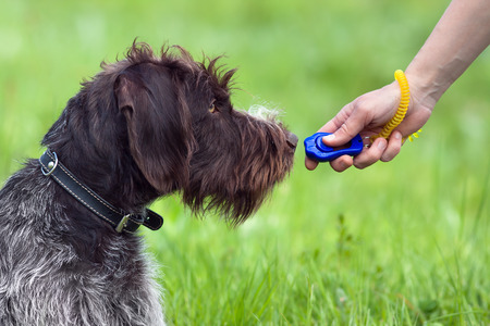 education: training young dog with clicker on the green summer background