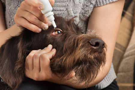 hands of woman dripping antibiotic drops to eyes of dog Imagens