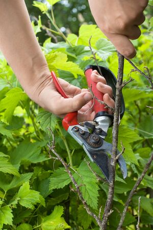 hands of gardener with garden pruner, closeup Stock Photo