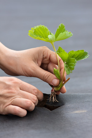 hands of gardener planting strawberry seedling on the black nonwoven mulch material Stock Photo