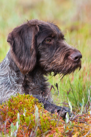 portrait of german wirehaired pointer outdoors