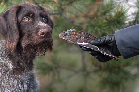 hand of hunter training hunting dog using wing of black grouse