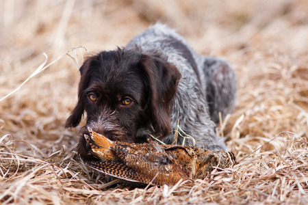 german wirehaired pointer with woodcock at spring hunt  Stock Photo