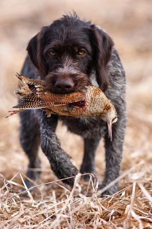 hunting dog german wirehaired pointer carrying a woodcock to the hunter