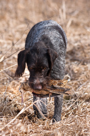hunting dog german wirehaired pointer with hunting trophy - woodcock
