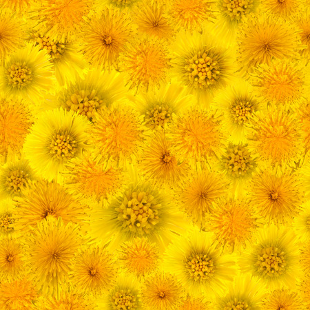 yellow background of dandelion flowers and foalfoot