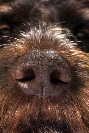 the nose of a hunting dog, close up