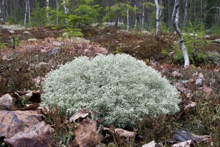 Cladonia rangiferina (reindeer lichen), growing on the forest floor