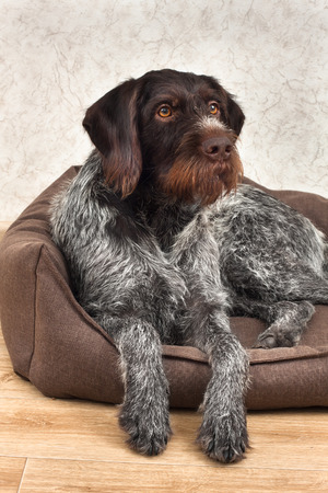 german wirehaired pointer resting in a dog bed 写真素材