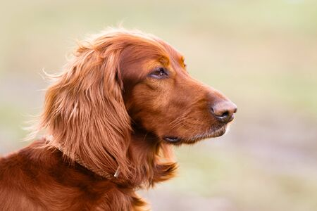 portrait of Irish setter on the walking in spring