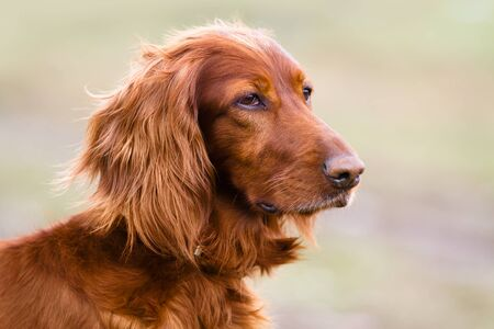 portrait of Irish setter on the walking in spring on blurred background Stock Photo