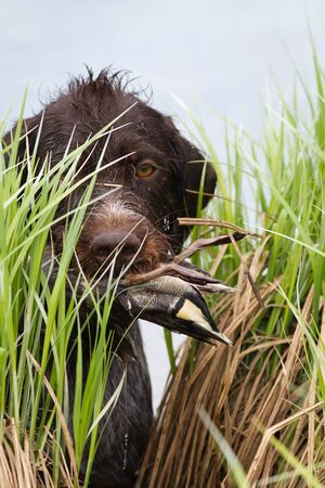 the hunting dog carries the duck in its teeth through the sedge thickets during hunting