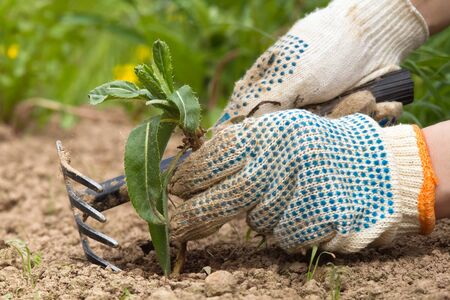 hands gardener remove weeds from the garden with a tool Stock Photo