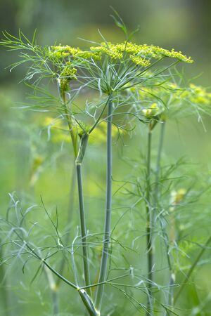 thickets of flowering dill in the garden on blurred background, closeup