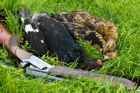 shotgun and hunting trophies (three downed grouse) lie on the green grass