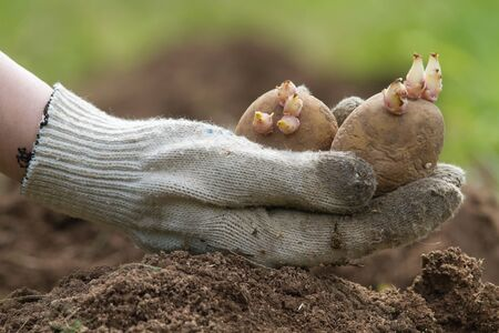 the hand of the gardener holds a few potato tubers next to the hole in the plowed ground