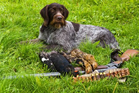 hunting dog lying on the green grass next to a shotgun and hunting trophies (three downed grouse)