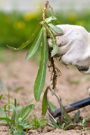 the hand of the gardener keeps the weed (sow-thistle) 스톡 콘텐츠