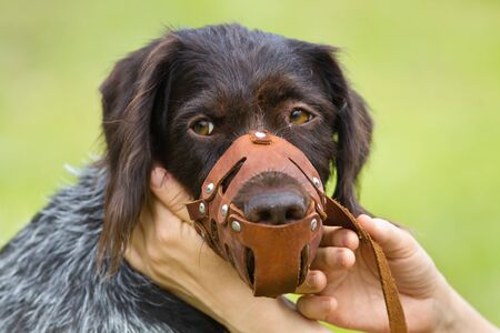 the hands of the owner put a leather muzzle on the dog 스톡 콘텐츠