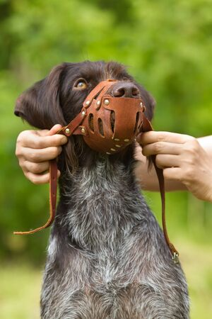 the owner puts a leather muzzle on the dog