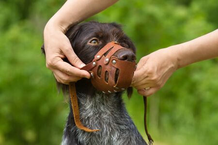 human hands put a leather muzzle on the dog